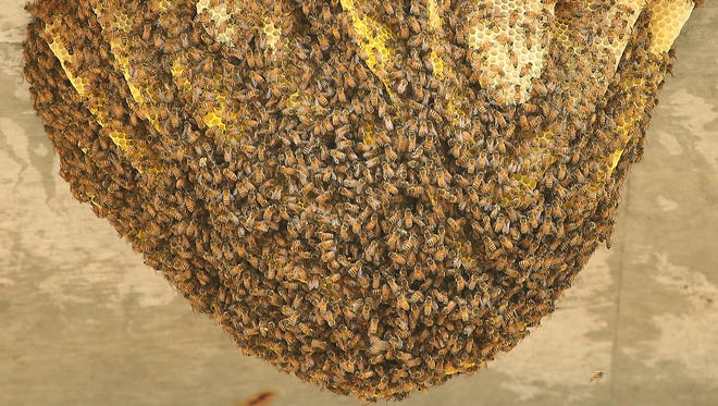 A large beehive beneath the Warren Avenue Bridge in Bremerton. The hives, estimated to contain 60,000 bees, was removed and relocated on Thursday.
