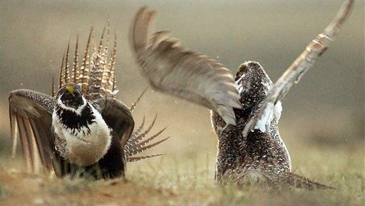 In this May 9, 2008 file photo, male sage grouses fight for the attention of female southwest of Rawlins, Wyo. The U.S. Bureau of Land Management has extended the public comment period on the agency's plan to withdraw 10 million acres of public lands from mining in six western states to protect greater sage grouse habitat. The comment period will last about three additional weeks to Jan. 15, with public meetings scheduled in Idaho, Montana, Nevada, Oregon, Utah and Wyoming in December. (Jerret Raffety/Rawlins Daily Times via AP, File)