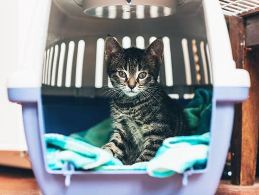Cute little tabby kitten sitting in a travel crate