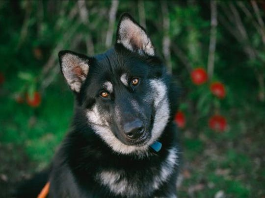 Carl, an 1-year-old male Husky mix dog. No. 96224.