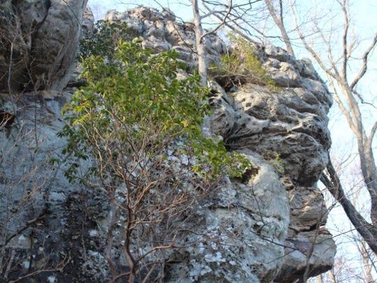 Mountain laurels grow from Castle Rock.