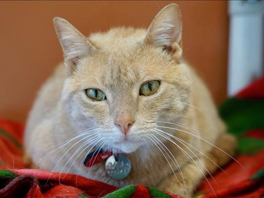 Sparticus, 5-year-old male domestic short hair cat. No. 93258.