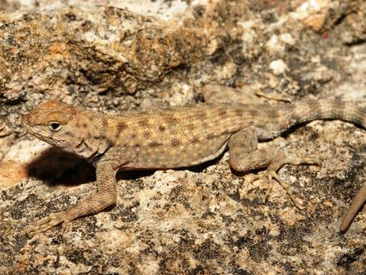 636354595253411224-Big-Bend-Canyon-Lizard.JPG