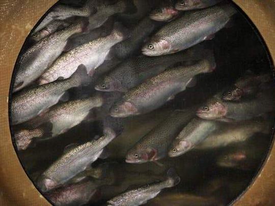 Bell Aquaculture fish swim past a porthole in a 70,000-gallon