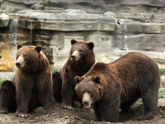 636413296553864063-Grizzly-bears---Patti-Truesdell.jpg
