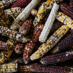 Indian corn at the home of Amish vegetable farmer Noah Nolt in Liberty, Ky. Nov. 24, 2015