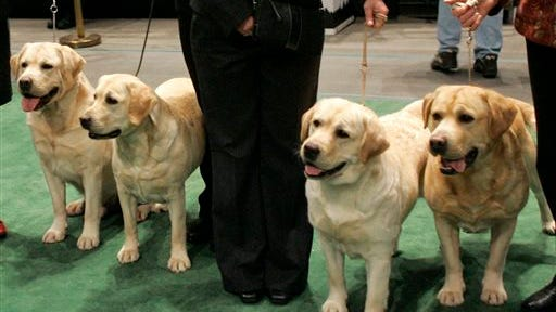 In this Feb. 13, 2007, file photo, four Labrador retrievers line up for a photograph with their handlers before entering the ring for competition at the Westminster Kennel Club dog show at Madison Square Garden in New York. Labs reigned as the nation's top dog in 2014 after breaking poodles decades-old record in 2013, according to American Kennel Club rankings set to be released Thursday. Labrador retrievers hit the top 10 in the 1970s and havent left since.