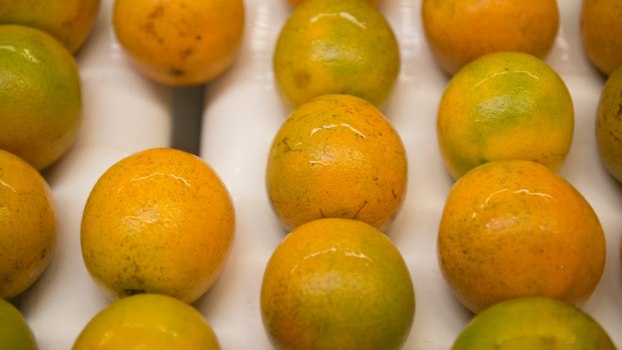 "Florida oranges from St. Lucie, Polk and Highlands counties cycle through the DLF International packing house in Fort Pierce on June 8, 2017. ""Florida has the best oranges in the world,"" said DLF president Doug Feek."