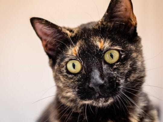 Zuma - Female domestic short hair, about 1 year old.