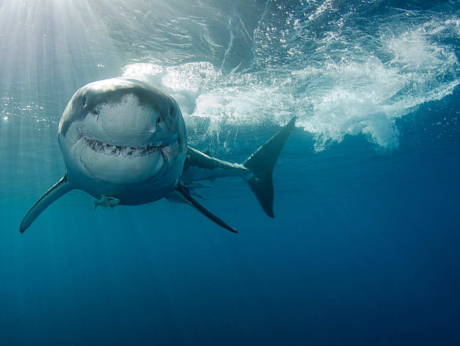 Shark Week starts July 23rd, so take our quiz and show off your knowledge of these ocean predators!