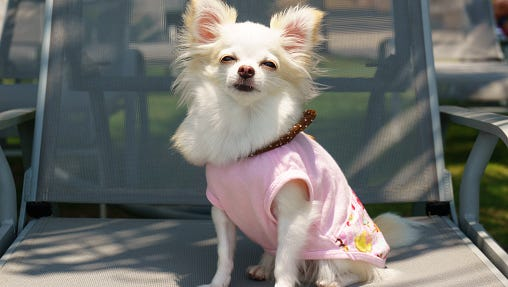 File photo of a Chihuahua