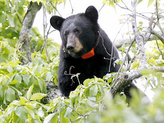 635925227195976284-black-bear.jpg