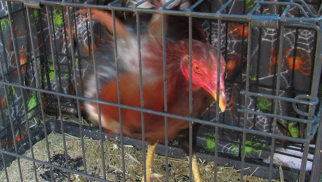 One of the 12 caged roosters a Nevada Highway Patrol trooper says he found in the trunk of a car he pulled over for speeding on Interstate 80 is pictured in this May 11, 2016 photo in Elko, Nev. Authorities say the fact the comb on its head was cut off is a sign it was used for cock fighting. Jose R. Ortiz, 30, of Salinas, California, remained in the Elko County Jail Thursday, May 12, 2016 on charges including suspicion of drug trafficking and conspiracy to engage in animal fighting.