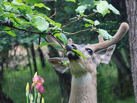 -Deer Browsing 3.jpg_20140904.jpg