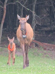 An elk cow with a calf, part of the Jackson County
