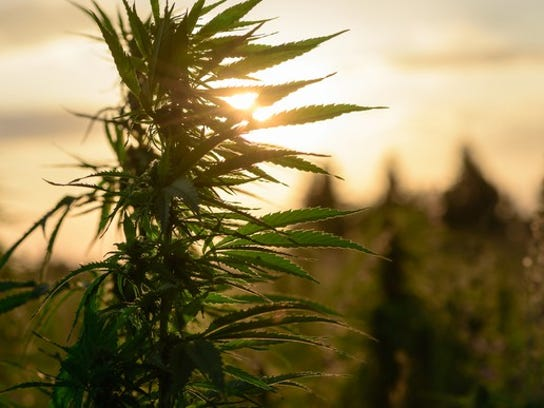 A hemp plant in an outdoor grow farm with the sun in the background.