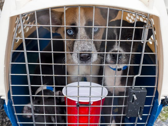 Three rescued dogs wait to be transported to one of