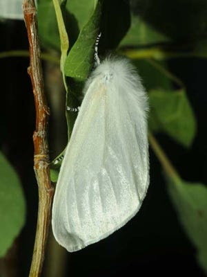 White satin moth.