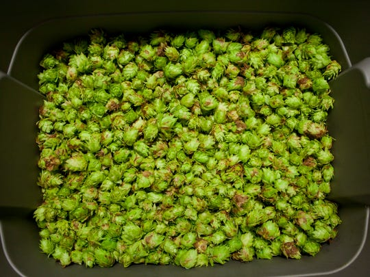 Brewers gold hops sit in a container before being bagged August 27, 2014 at ThumbCoast Brewing Co. in downtown Port Huron.