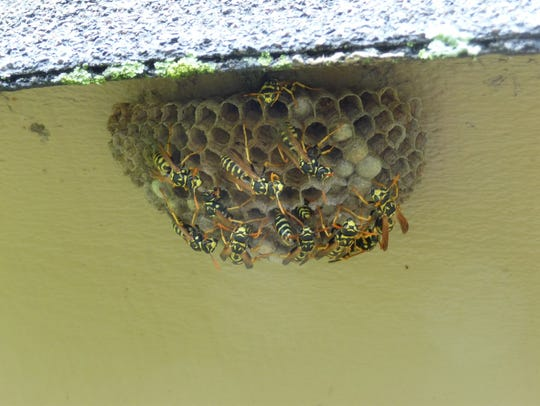 Paper wasps and their nest.