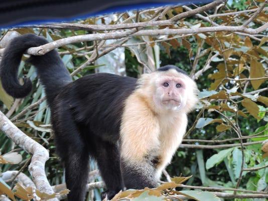 Panama-Monkey.jpeg