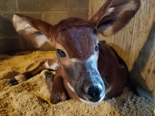 The female bongo born at the Louisville Zoo April 16. She has yet to be named.