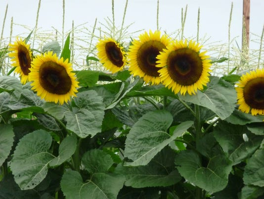 636380587201681088-Sunflowers.JPG