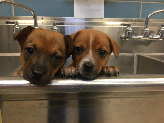 Ambrose and Flair are two mixed breed puppies that