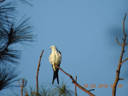 Alan Knowles spotted this swallow-tailed kite at Gator