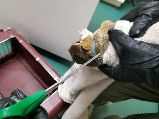 Black Hawk Wildlife Rehabilitation Project rescued two squirrels with collars and bells around their necks.
