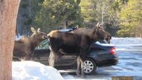 This cow moose licked her way through five cars in Rocky Mountain National Park's Sprague Lake parking lot.
