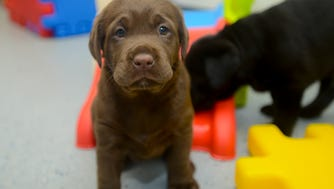 Roxy, a female vapor wake puppy in training, goes through the drills in the nursery Tuesday, May 22, 2018, in the Canine Performance Services facility at Auburn University in Auburn, Ala. (Photo by Julie Bennett)