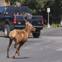 An Elk on Wednesday runs through the streets of Waco, Texas, while fleeing local law enforcement agencies.