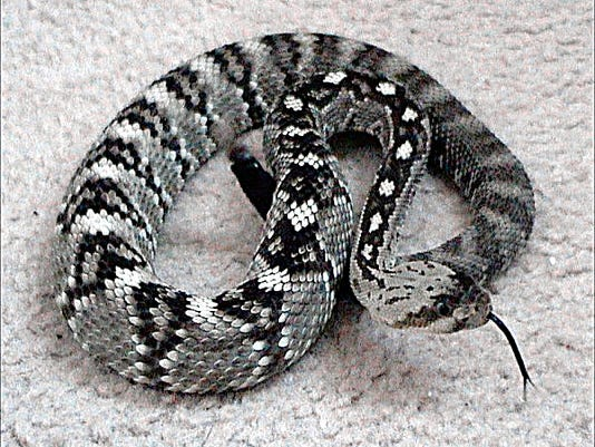 A black-tailed rattlesnake is coiled and testing the air with its tongue.