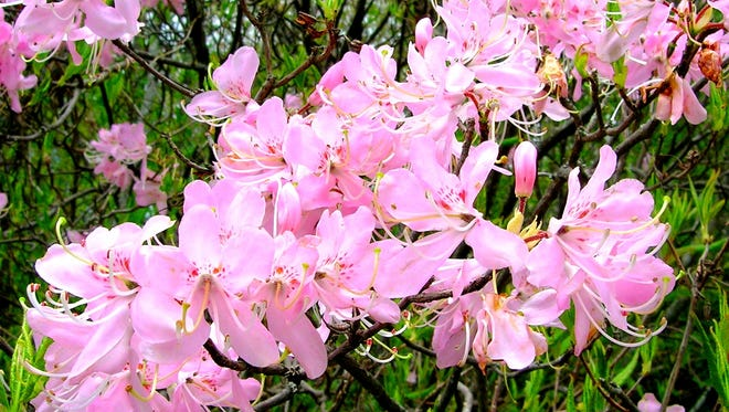 Pink shell azalea is native only to North Carolina and a few counties in the mountains.