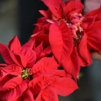 What is the origin of the poinsettia?