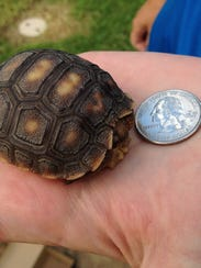 A 1 year old baby tortoise recently turned in to game and fish