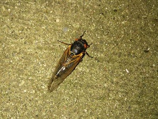 A cicada found on the back porch of Ron Murray's Aurora, Ind. home.