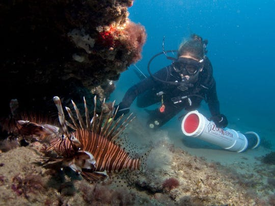 Jen Young, of Fort Pierce, spears a lionfish in roughly 80 feet of water off St. Lucie County during the Treasure Coast Lionfish Safari in 2014.