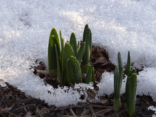 Daffodils poke through the snow on the first day of