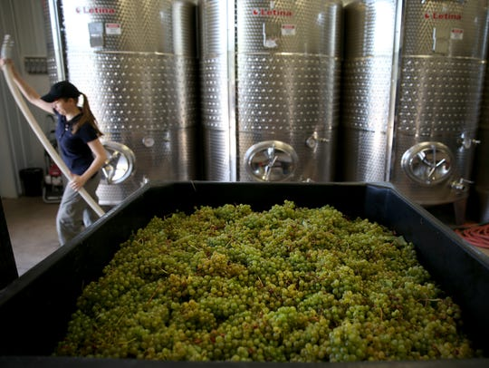 Grapes ready to be pressed at Toro Run Winery on Cayuga