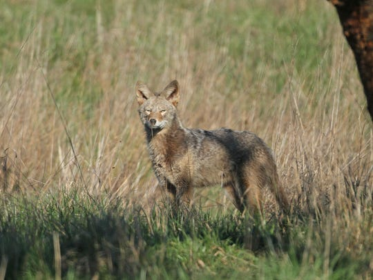 File photo of a coyote at Baskett Slough National Wildlife Refuge.