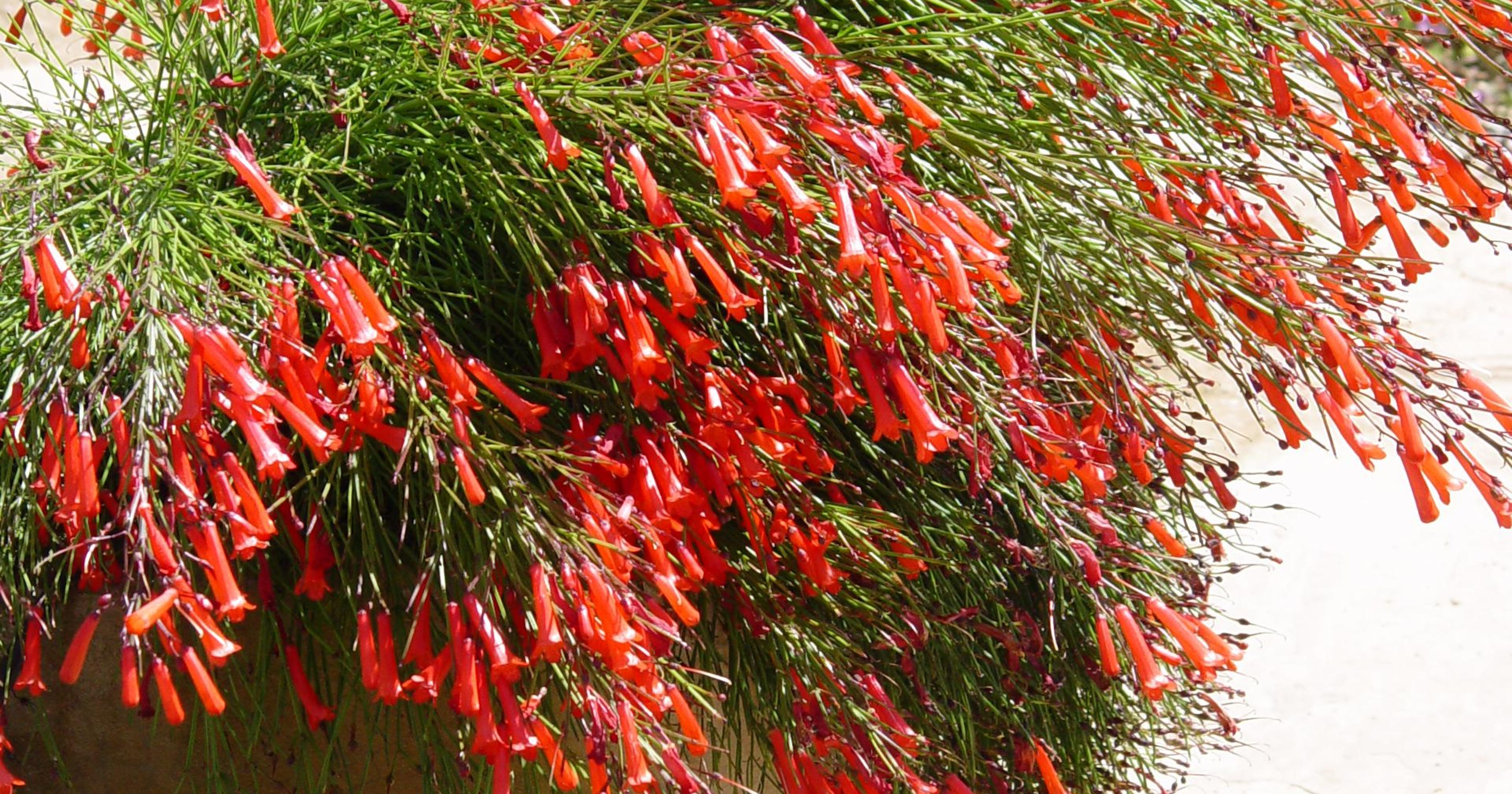 How To Give Firecracker Plants A Home In Your Desert Garden