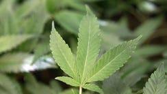 The Campaign to Regulate Marijuana Like Alcohol is