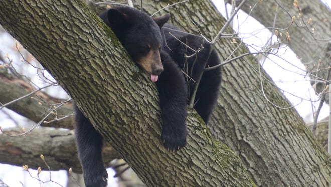 A black bear sleeps in a tree in the backyard of a home on Benton Road in Paramus on Monday April 30, 2018.