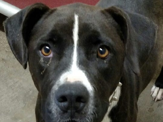 This black and white male Pitbull mix is named Caesar. Caesar is about 2-years-old. His adoption fee is $50.05 plus tax. For more information about adopting a Pet of the Week or other furry friends visit Alamogordo Animal Control, 2910 N. Florida Ave., Monday through Saturday between noon and 5 p.m. or contact them at 439-4330.