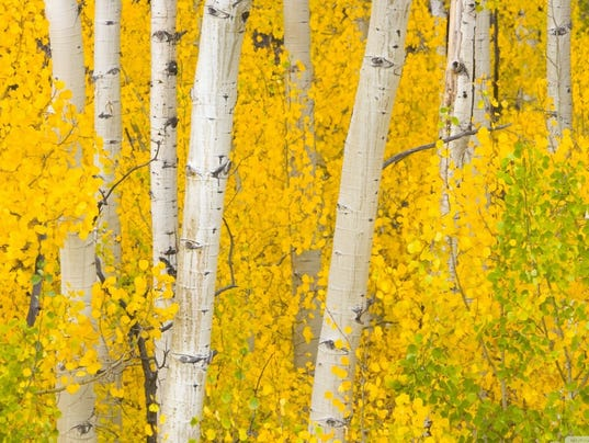 Smokey District Gold Aspen