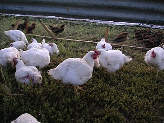 636413426327655767-pasture-chickens.jpg