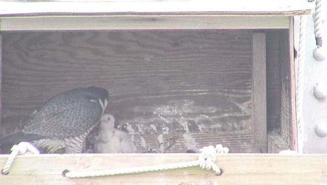 A baby falcon chick is tended to by its mother on the Tappan Zee Bridge.