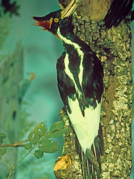 is the ivory billed woodpecker still with us